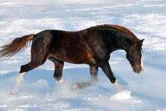Bay horse runs gallop in snowdrift Stock Photography