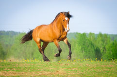 Bay horse runs gallop in summer Royalty Free Stock Photos