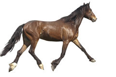 Bay horse runs Stock Image