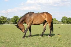 Bay Horse Scratching Royalty Free Stock Photos