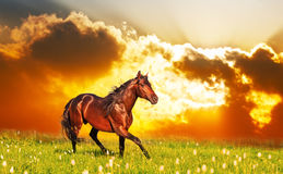 Bay horse skips on a meadow. Against a sunset Royalty Free Stock Photo