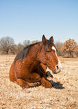 Bay horse sleeping in winter pasture Stock Photography