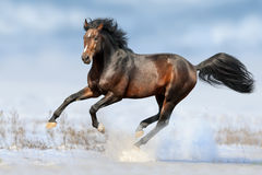 Bay horse in snow. Bay horse run gallop in winter snow field royalty free stock photos