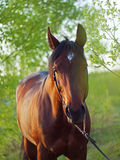 Bay horse in spring forest. Outdoor sunny evening Stock Photo
