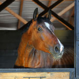 Bay horse in stable. Beautiful bay horse stallion in stable, day Royalty Free Stock Photo