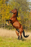 Bay horse stallion play on grass in autumn Stock Photos