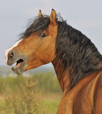 Bay horse stallion portrait. Speak Royalty Free Stock Images