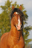 Bay horse stallion portrait. Whith tree Royalty Free Stock Images