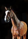 Bay horse stallion portrait on the black background. The bay horse stallion portrait on the black background stock image