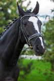 Bay horse stallion portrait in the summer against greenery Stock Image