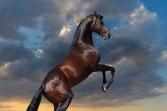Bay horse stallion rearing up. Bay big horserearing up against sunset sky Royalty Free Stock Images