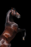 Bay horse stallion rearing up isolated. Bay big horserearing up isolated on black background Stock Photography
