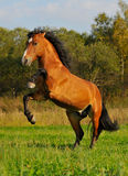 Bay horse stallion standing on grass in autumn. Red, bay horse stallion standing on grass in autumn Royalty Free Stock Images