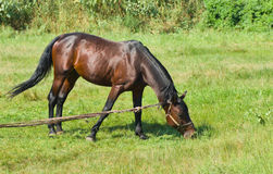 Bay horse (stallion) on the summer pasture Stock Photos