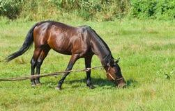Bay horse (stallion) on the summer pasture Stock Photos