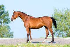 Bay horse standing on blue sky. Royalty Free Stock Image