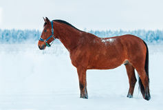 Bay horse standing in the snow. Along the forest royalty free stock images