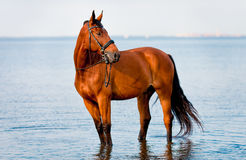 Bay horse standing water and looks. Into the distance stock photography