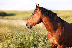 Bay horse stands on green field. And looks into the distance stock image