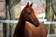 Bay horse near the fence Stock Photography
