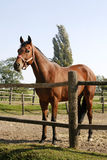 Bay horse stands in summer corral Stock Photos