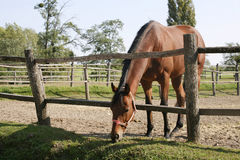 Bay horse stands in summer corral Royalty Free Stock Photography