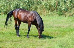 Bay horse on the summer pasture Stock Photos