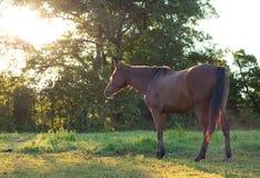 Bay horse at summer sunrise Royalty Free Stock Image