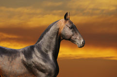 Bay horse in sunset. Bay horse runs gallop in sunset Stock Image