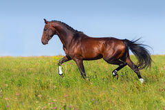 Bay horse trot Royalty Free Stock Images