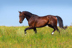 Bay horse trot Stock Photo