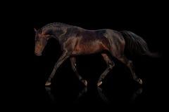 Bay horse trot. Bay horse isolated on black background Royalty Free Stock Photo