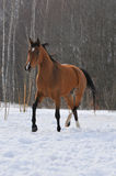 Bay horse trots in field. The bay horse trots in field Royalty Free Stock Photo