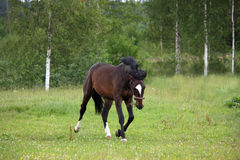 Bay horse trotting at the field Royalty Free Stock Photography