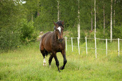 Bay horse trotting at the field Royalty Free Stock Images