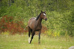 Bay horse trotting at the field Stock Photos