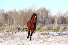 Bay horse trotting at the field Stock Photo