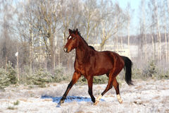 Bay horse trotting at the field Stock Image