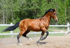 Bay horse of Ukrainian riding breed. Gallops on manege Royalty Free Stock Photography