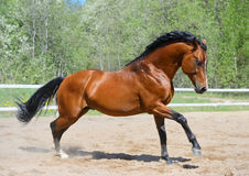 Bay horse of Ukrainian riding breed. Gallops on manege Stock Image