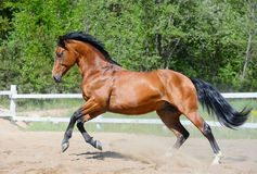 Bay horse of Ukrainian riding breed in motion. Bay horse of Ukrainian riding breed gallops on manege Royalty Free Stock Photos