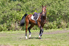 Bay horse under saddle. Beautiful bay horse under saddle on forest background royalty free stock photography