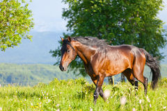 Bay horse is walked Royalty Free Stock Photos