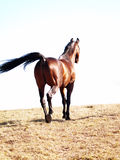 Bay horse walking away Royalty Free Stock Image