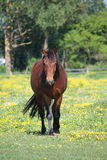 Bay horse walking at the field with flowers Royalty Free Stock Photo
