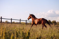 Bay horse walks in the paddock summer. Bay horse walks in the paddock on a sunny day Stock Photo
