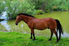 Bay horse on a watering place Royalty Free Stock Image