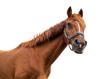 Bay horse on white background Royalty Free Stock Image