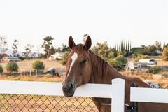 Bay horse with white blaze looking over a fence Royalty Free Stock Image