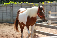 Bay horse with a white mane. And white sides Royalty Free Stock Photo